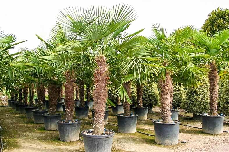 trachycarpus fortunei hanfpalme 290 300 cm winterhart. Black Bedroom Furniture Sets. Home Design Ideas