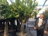 edle und riesige Orangenbäume (Citrus sinensis) in Premiumqualität!