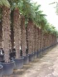 Trachycarpus Fortunei (Hanfpalme); Stammlänge 300-350 cm; Gartenpalme; winterhart bis ca. -19°C, VKZ 130; 190-210 kg