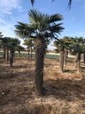 Trachycarpus Fortunei (Hanfpalme); Stammlänge 350-400 cm; Gartenpalme; winterhart bis ca. -19°C, VKZ 130; 190-210 kg