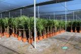Trachycarpus Fortunei (Hanfpalme); Stammlänge 80-90 cm; Gartenpalme; winterhart bis ca. -19°C, VKZ 40; 60kg
