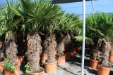 Trachycarpus Fortunei (Hanfpalme); Stammlänge 100-110 cm; Gartenpalme; winterhart bis ca. -19°C, 50kg