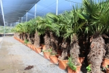 Trachycarpus Fortunei (Hanfpalme); Stammlänge 120-130 cm; Gartenpalme; winterhart bis ca. -19°C, 50kg