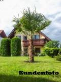 Trachycarpus Fortunei (Hanfpalme); Stammlänge 120-130 cm; Gartenpalme; winterhart bis ca. -19°C, VKZ 50; 70-80 kg