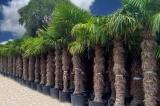 Trachycarpus Fortunei (Hanfpalme); Stammlänge 180-190 cm; Gartenpalme; winterhart bis ca. -19°C, 80kg