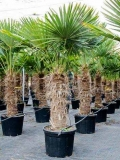 Trachycarpus Fortunei (Hanfpalme); Stammlänge 180-190 cm; Gartenpalme; winterhart bis ca. -19°C, VKZ 80; 130-150 kg