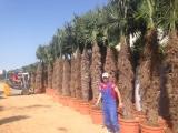 Trachycarpus Fortunei (Hanfpalme); Stammlänge 200-210 cm; Gartenpalme; winterhart bis ca. -19°C, 90kg