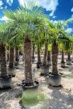 Trachycarpus Fortunei (Hanfpalme); Stammlänge 200-210 cm; Gartenpalme; winterhart bis ca. -19°C, VKZ 90; 150-170 kg