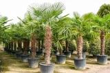 Trachycarpus Fortunei (Hanfpalme); Stammlänge 160-170 cm; Gartenpalme; winterhart bis ca. -19°C, VKZ 70; 100-120 kg