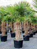 Trachycarpus Fortunei (Hanfpalme); Stammlänge 220-230 cm; Gartenpalme; winterhart bis ca. -19°C, VKZ 100; 160-180 kg