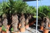 Trachycarpus Fortunei (Hanfpalme); Stammlänge 240-250 cm; Gartenpalme; winterhart bis ca. -19°C, VKZ 110; 170-190 kg