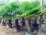 Trachycarpus Fortunei (Hanfpalme); Stammlänge 60-70 cm; Gartenpalme; winterhart bis ca. -19°C, VKZ 40; 60kg