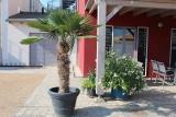 Palme zur Miete über eine gesamte Saison, Mietpalme, Mietpflanze, Trachycarpus Fortunei, Stammlänge 110-120 cm, Gesamt ca. 220-260 cm